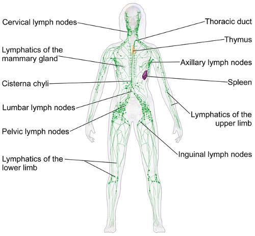Lymphatic System Basics