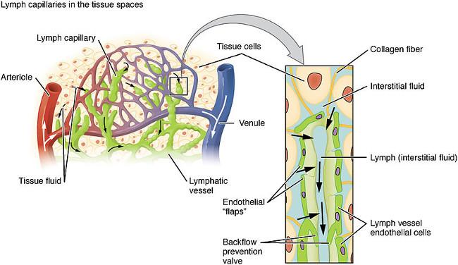 Lymphatic Capillary Diagram